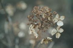 紫陽花 #2