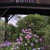 トワイライトの紫陽花
