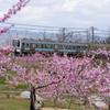 桃畑を行く #1