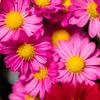 ピンクの花の写真