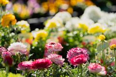 ラナンキュラスと春の花