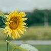 カナブンと向日葵