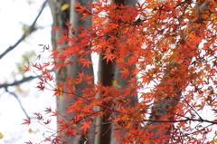 小金井公園の紅葉-4
