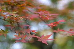 小金井公園の紅葉-6