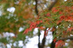 小金井公園の紅葉-9