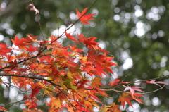 小金井公園の紅葉-7