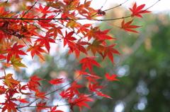 小金井公園の紅葉-8