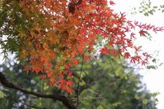 小金井公園の紅葉-5