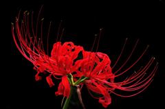 赤と黒が似合う『仏の手!』のお花・・♪