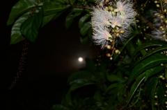 夜に咲く花「サガリバナ」4