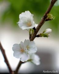 久米の桜 2