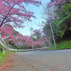 八重岳の桜 1 2021
