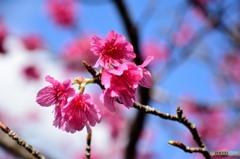 寒緋桜 (かんひざくら) 「緋寒桜」(ひかんざくら)2