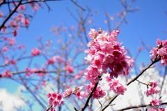 寒緋桜 (かんひざくら) 「緋寒桜」(ひかんざくら)1