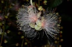 夜に咲く花「サガリバナ」2