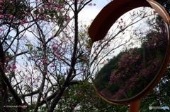 ミラー越しの桜