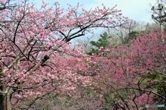 八重岳 桜