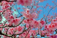 八重岳の桜 4 2021