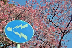 八重岳の桜 3 2021