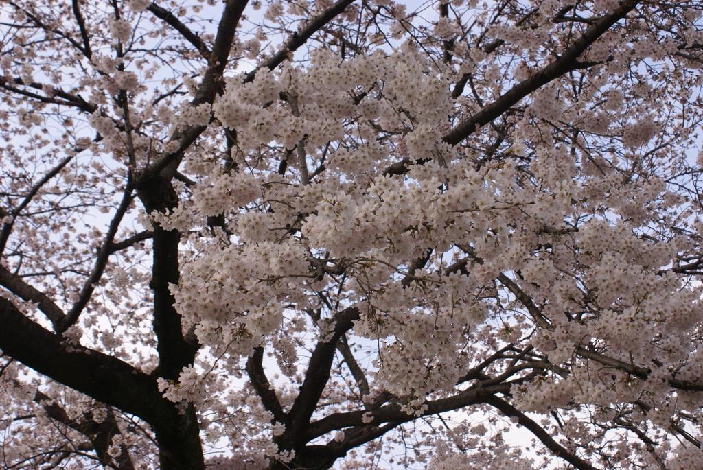 千波公園の桜2