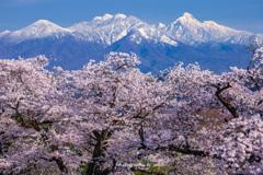 桜花待ちわびて