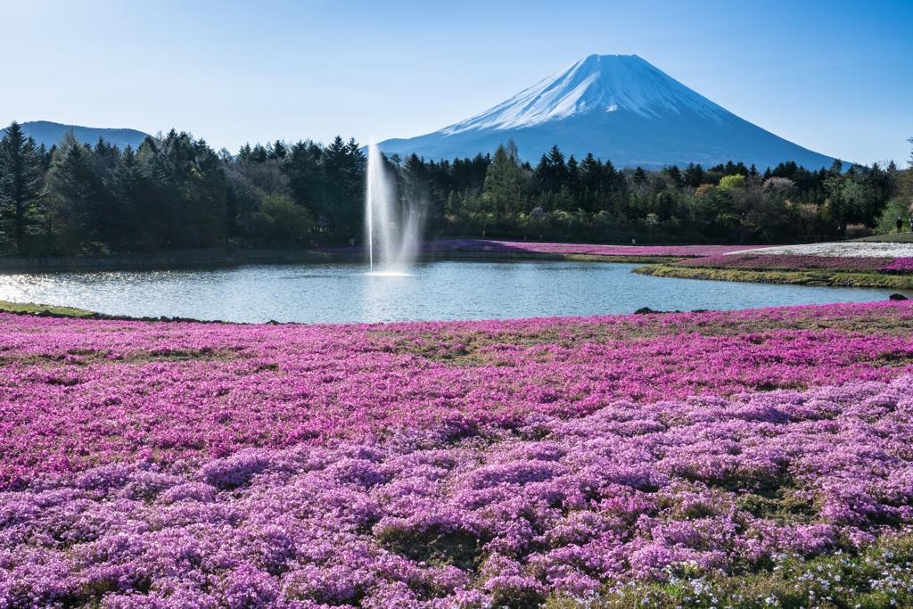 富士芝桜まつり2021