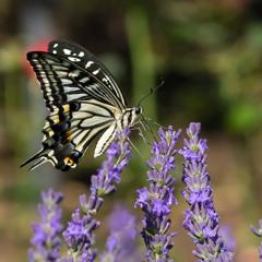 ラベンダーの蝶