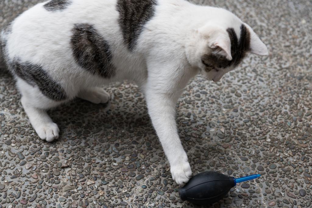 ブロアーで遊ぶ猫