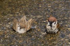 雀の水浴び #1