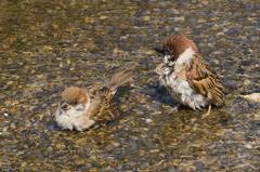 雀の水浴び #3