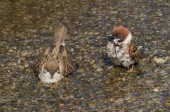 雀の水浴び #2