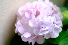 初夏~紫陽花