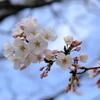 桜、さくら・・・