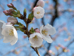 やっと桜2