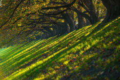 朝日の並木道