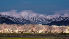 船川ベリの桜