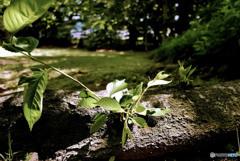 木漏れ日の若葉
