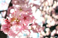 河津桜-三浦海岸5