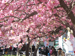 河津桜-三浦海岸2