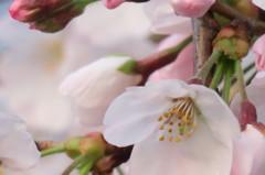 2016.03.30桜開花③