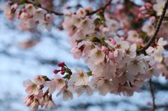 2016.03.30桜開花①