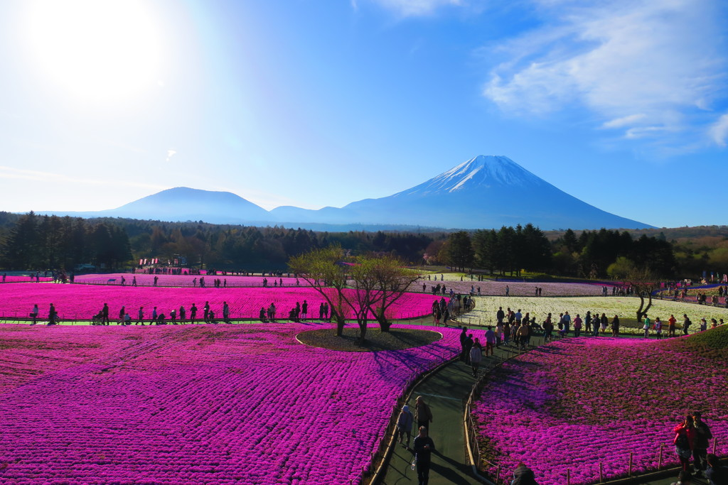 富士山と芝桜-2