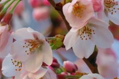 2016.03.30桜開花②