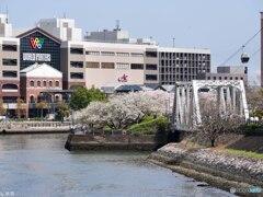これぞ横浜なサクラ-2
