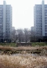 柳瀬川の枯れすすき。