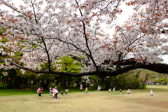 桜と歓声。