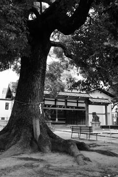 六郷神社の御神木。