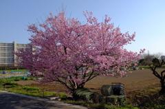 満開! 川津桜。