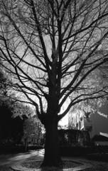 街のシンボルツリー。