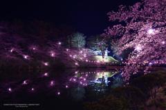 水堀に写る宵桜